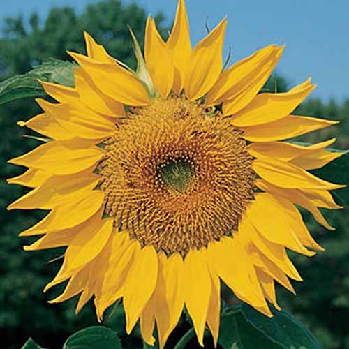 A close up of a large 'Mammoth' sunflower with trees and blue sky in the background.