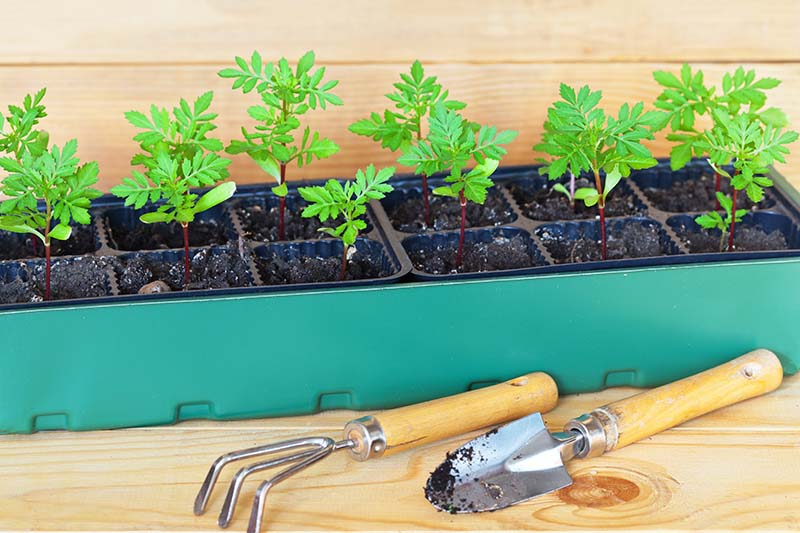 A self-watering seed starting tray with small seedlings set on a wooden surface, with a hand cultivator and garden trowel in the foreground.