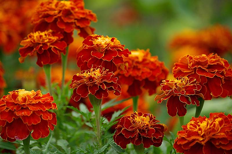 A close up of bright red and yellow marigolds growing in the garden on a soft focus background.