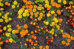 When and How to Plant Marigold Seeds