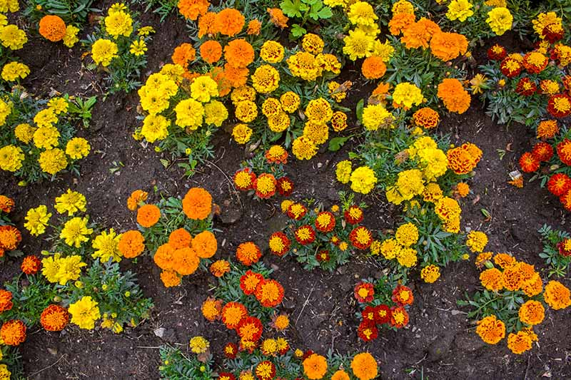 A close up top down picture of a variety of different colored marigolds growing in the garden, with soil in the background.