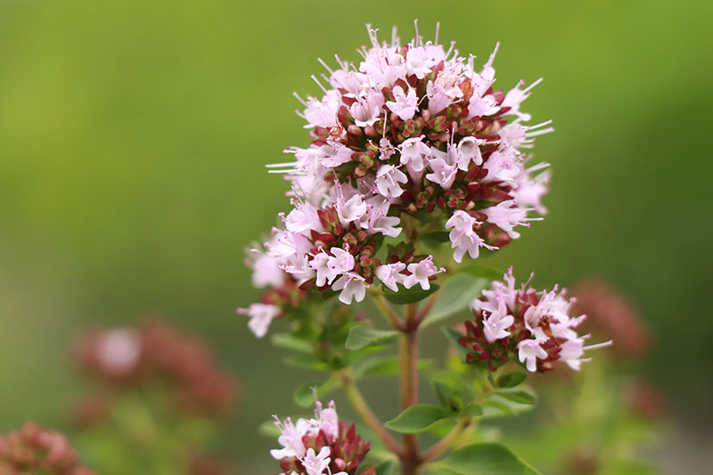 A close up of a delicate pink flower of Origanum majorana growing in the garden on a soft focus background.