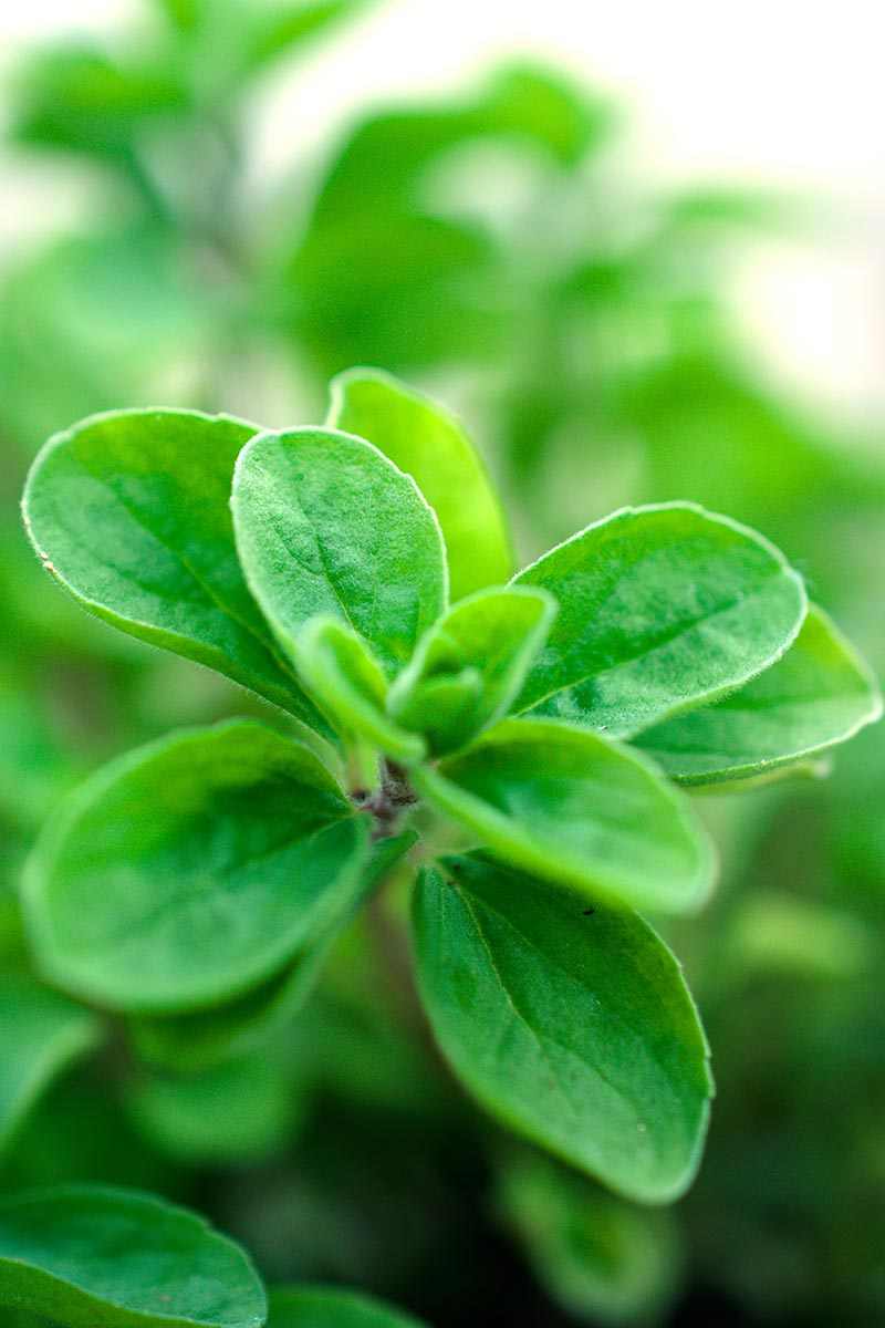 A vertical close up of the delicate green leaves of Origanum majorana growing in the garden, on a soft focus background.