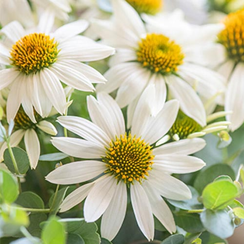 A close up of white flowers with yellow centers of Echinacea purpurea 'Marry Me' growing in the garden on a soft focus background.