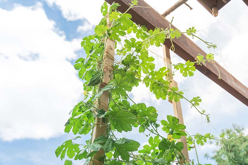 A close up of plants growing up a wooden trellis in the garden, with blue sky in the background.