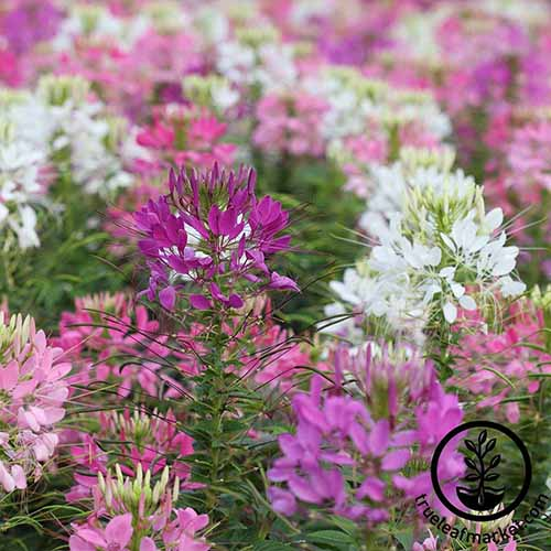 A garden scene of red, maroon, pink, and white C. hassleriana flowers, fading to soft focus in the background. To the bottom right of the frame is a black circular logo with text.