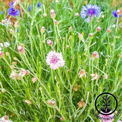 A close up of a variety of different colored cornflowers growing in a summer meadow. To the bottom right of the frame is a black circular logo with text.