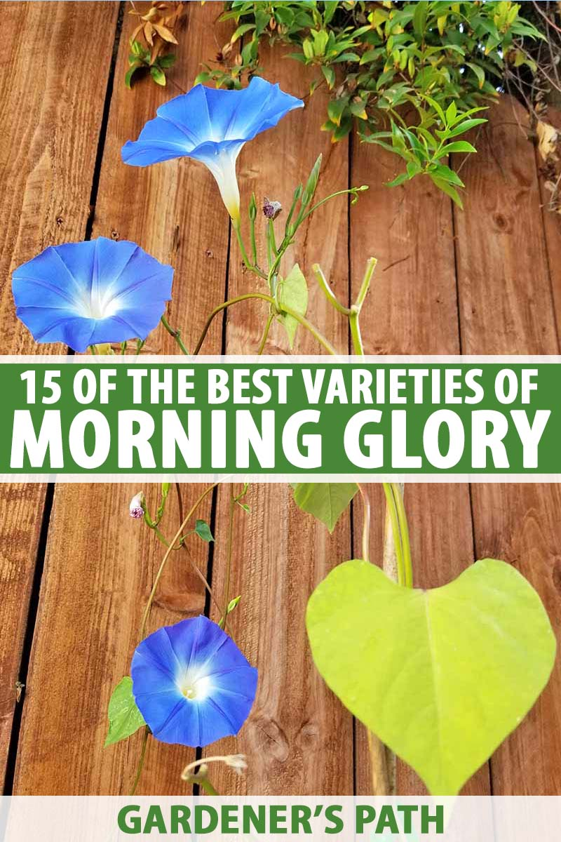 A wooden fence with the delicate blue and white flowers of the morning glory flower. To the center and bottom of the frame is green and white text.