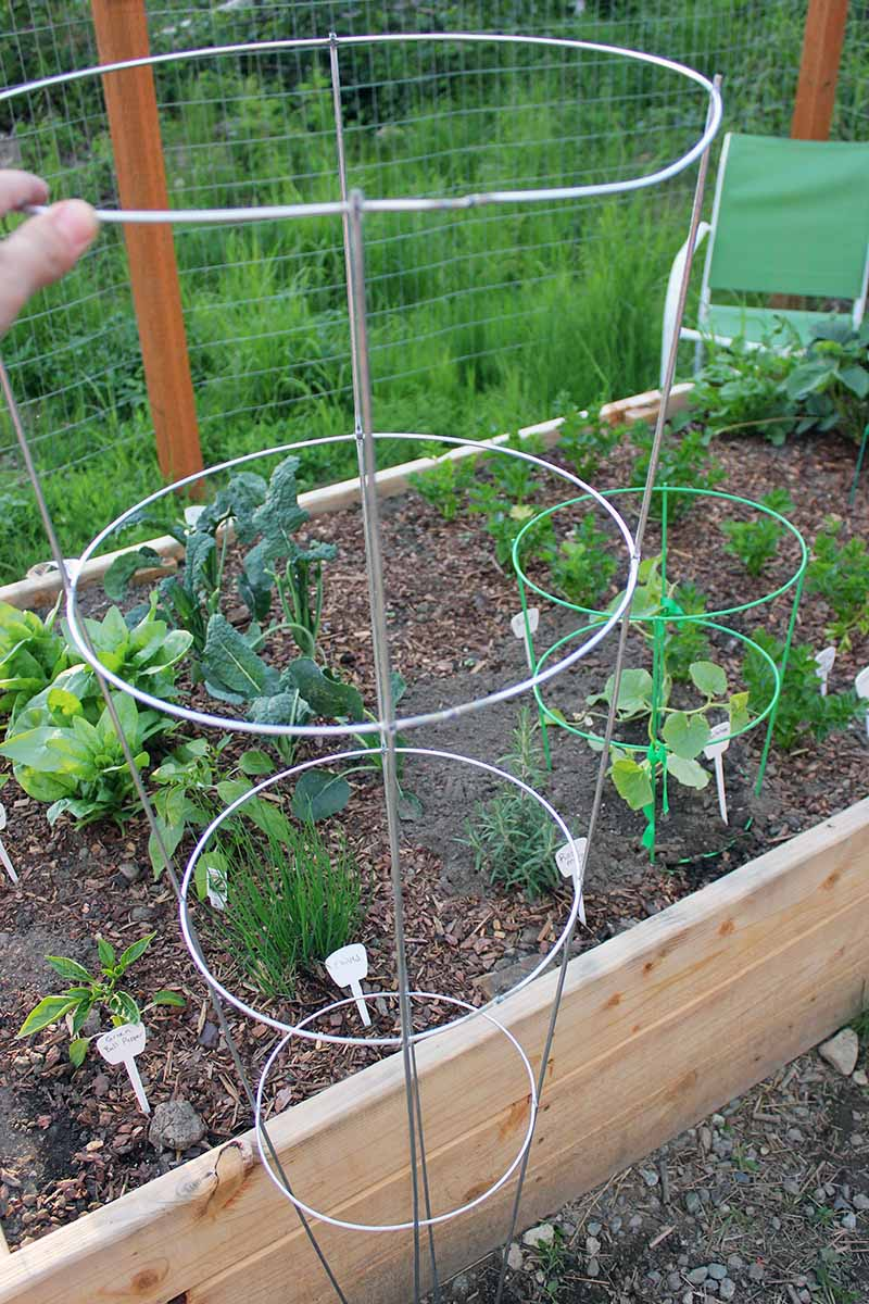 A vertical close up picture of a hand from the left of the frame holding up a large, circular metal plant support trellis, with a raised bed garden containing various vegetables in the background.