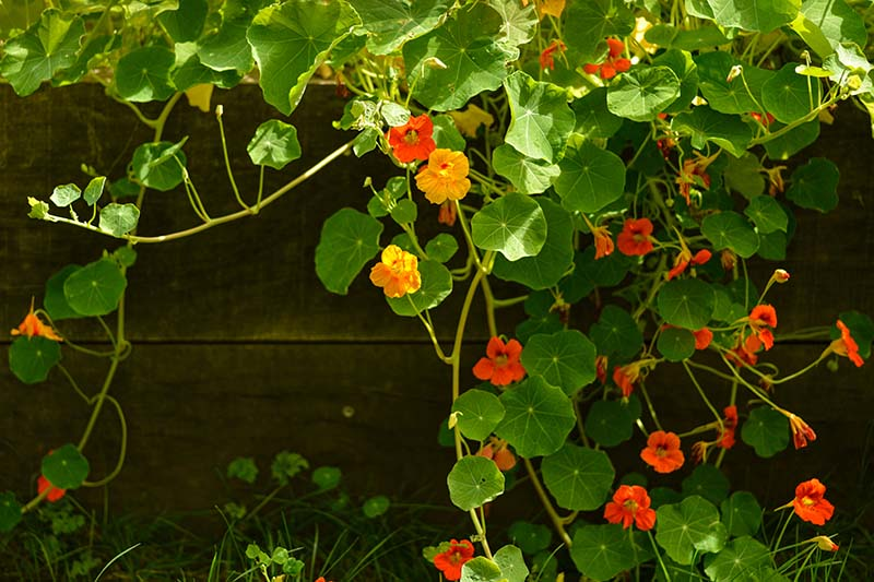 A close up of nasturtiums with bright orange flowers, trailing over a wooden fence, pictured in bright sunshine.