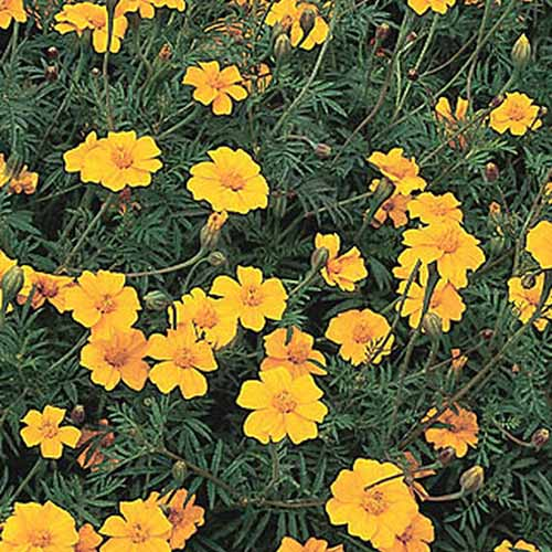 A close up of the small yellow flowers of the 'Nema Gone' marigold variety, surrounded by foliage.