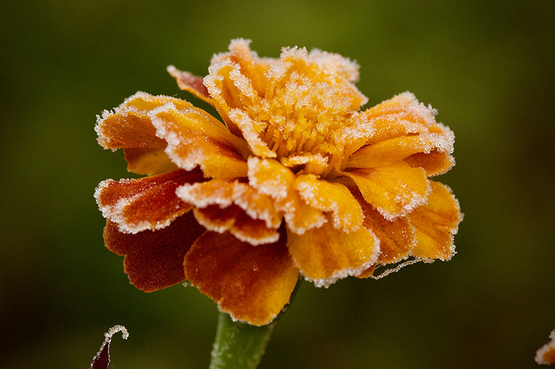 A close up of an orange marigold covered with a light dusting of frost, pictured on a green soft focus background.