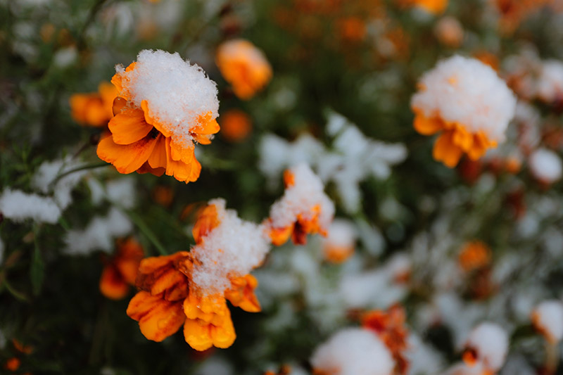 A close up of small orange flowers covered with a light dusting of snow, fading to soft focus in the background.