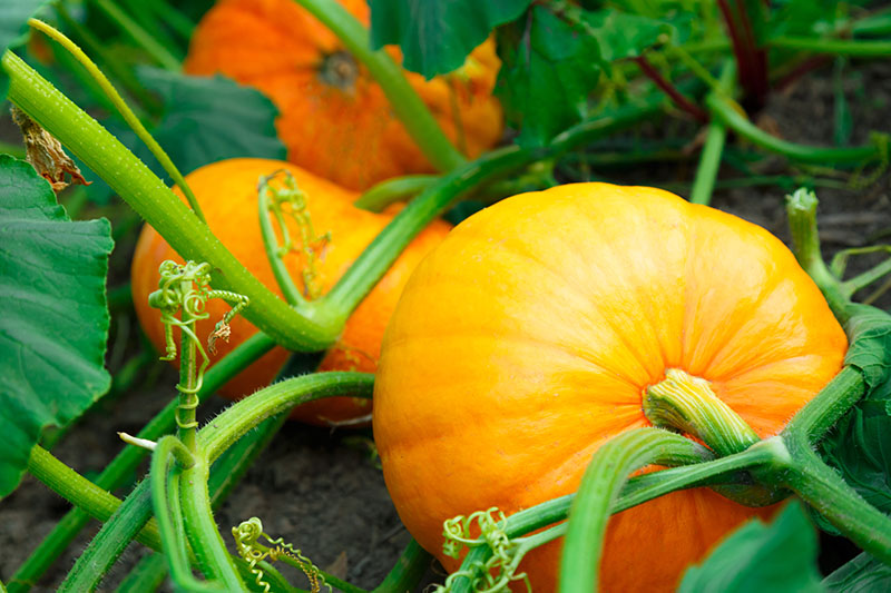 A close up of two pumpkins growing on the vine, resting on the soil in the summer garden. In the background is foliage and soil in soft focus.