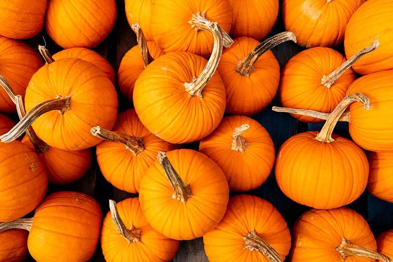A close up of freshly harvested orange pumpkins on a dark background.