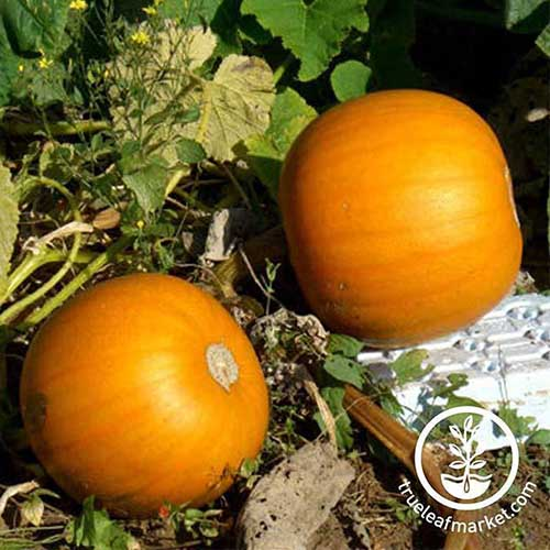 A close up of two 'Orange Smoothie' squash growing in the garden, in light sunshine, with foliage in the background. To the bottom right of the frame is a white circular logo with text.