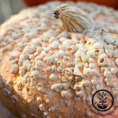 A close up of the rough skinned 'Galeux d'Eysines' pumpkin pictured in light sunshine. To the bottom right of the frame is a black circular logo with text.