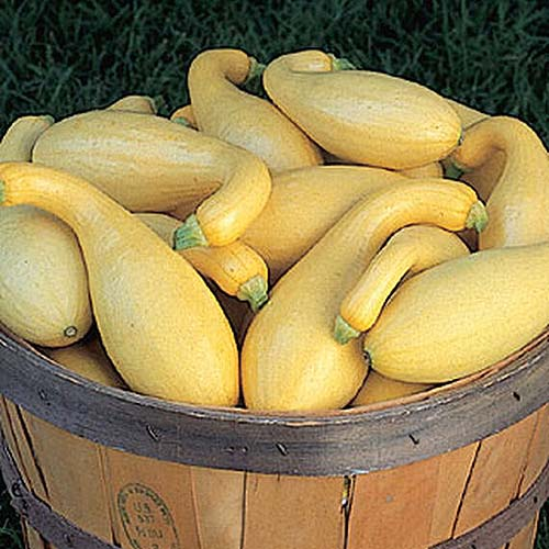A close up of a wooden barrel full of the crookneck squash variety 'PicNPic' on a dark background.
