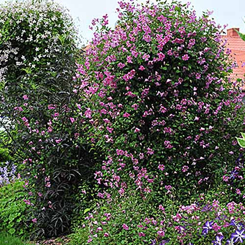 A large climbing clematis, 'Pink Mink,' with an abundance of pink flowers growing over an arbor in the summer garden.