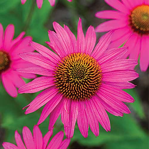 A close up of the vibrant pink Echinacea purpurea 'Pink Shimmer,' pictured on a soft focus background.