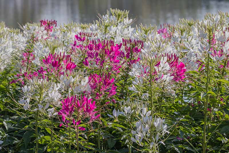 A close up of bright pink and white Cleome flowers growing in the garden in bright sunshine, on a soft focus background.
