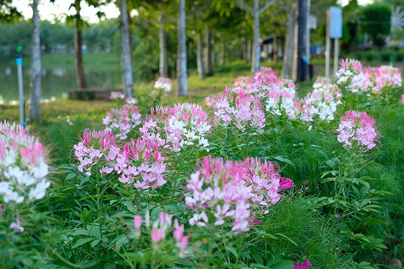 A garden scene with a border filled with pink and white C. hassleriana, with trees in soft focus in the background.