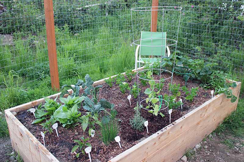 A wooden raised bed garden, with a selection of vegetables and a large metal plant cage to support a vining cantaloupe melon. In the background is a wire metal fence and a green chair.