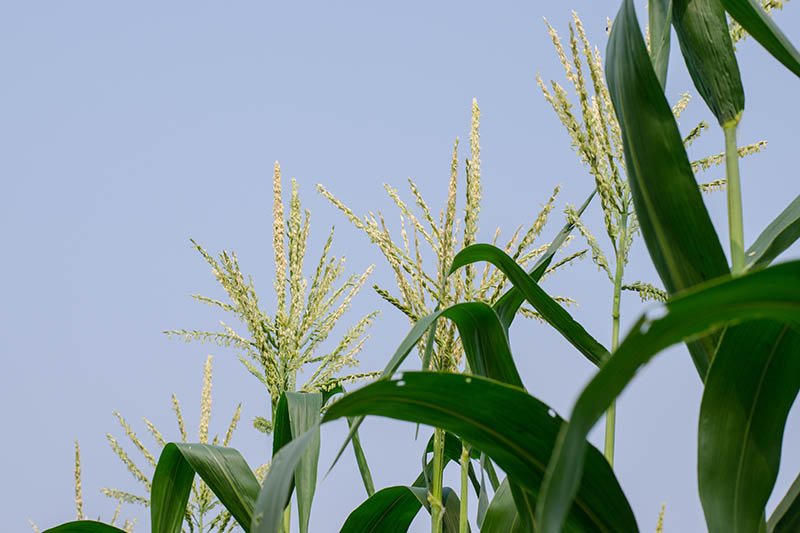 A close up of the pollinating male tassels of Zea mays, with foliage to the right of the frame on a blue sky background.