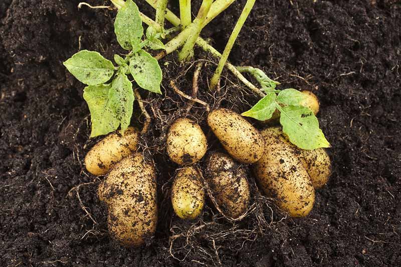 A close up of freshly dug potatoes, surrounded by rich soil.