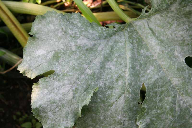 A close up of a leaf suffering from powdery mildew, showing a white powdery covering over the surface.
