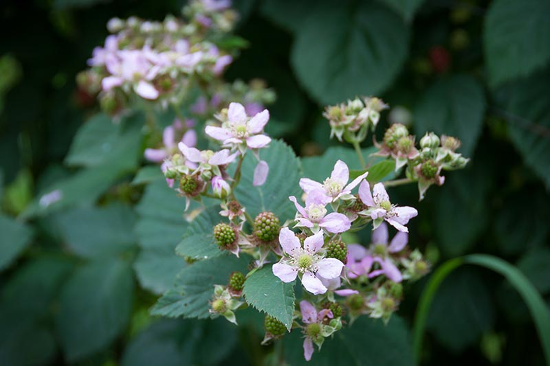 A close up of pretty boysenberry flowers growing in the garden on a soft focus background.