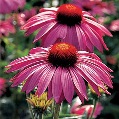 A close up of the pink flowers of Echinacea purpurea 'Primadonna Deep Rose' growing in the garden, pictured in bright sunshine.