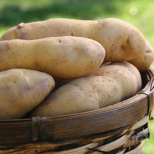 A close up of a basket of 'Princess Laratte' potatoes, pictured in light sunshine on a soft focus background.