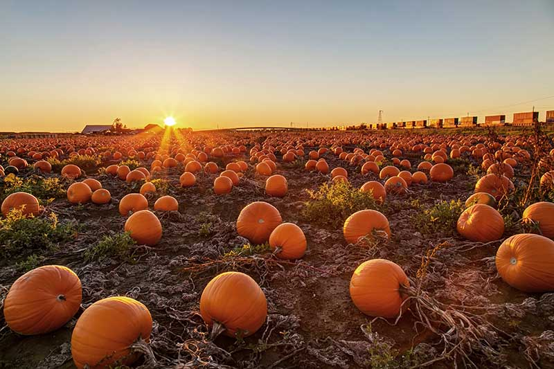 A pumpkin field with large, orange fruits in the evening sunshine.