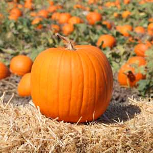 An orange pumpkin sitting on a hay bale with a field of unharvested squash in the background.