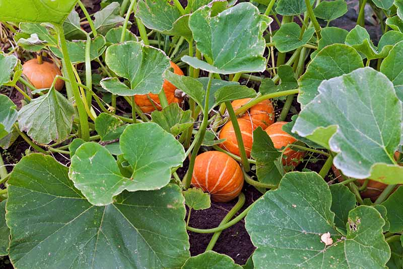 A close up of a pumpkin patch with large dark green leaves, and a number of small orange striped fruits developing in amongst them.