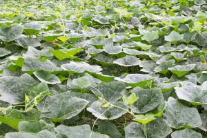 A large pumpkin patch with abundant, large leaves but no flowers.