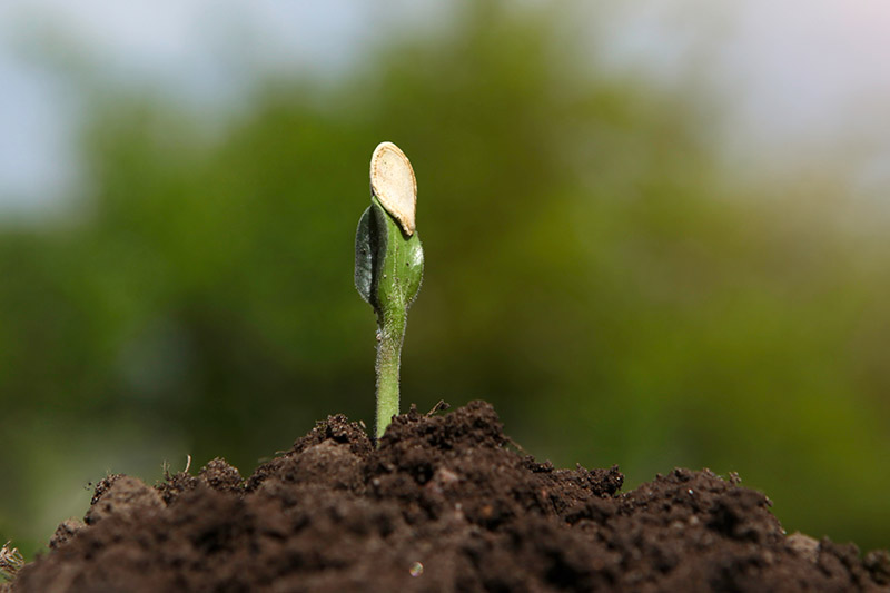 A close up of a small squash seedling that has just germinated, in rich soil, pictured on a soft focus background.