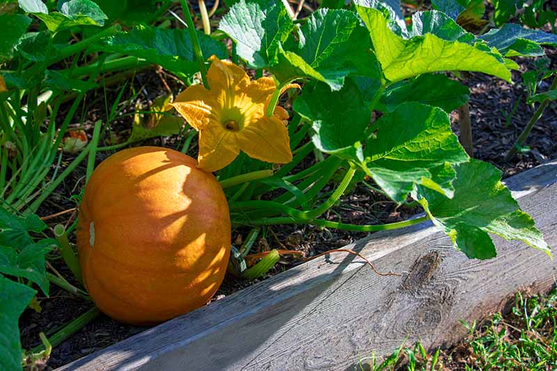 A close up of a raised bed with a large orange winter squash and a bright yellow flower, pictured in bright sunshine with foliage in soft focus in the background.