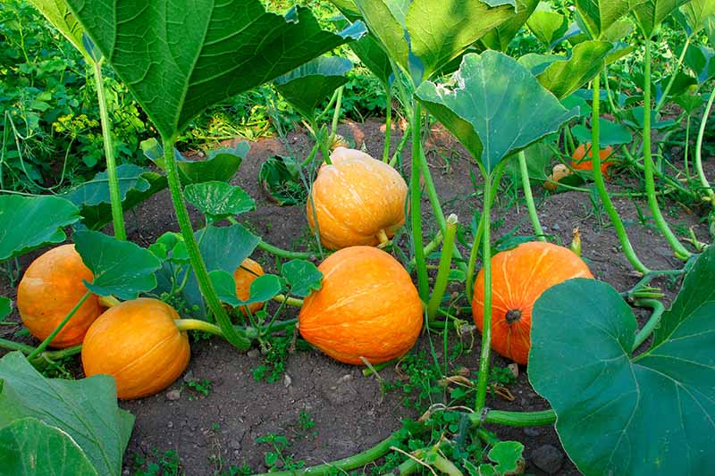 A garden scene of pumpkins growing among companion plants, pictured in light filtered sunshine.