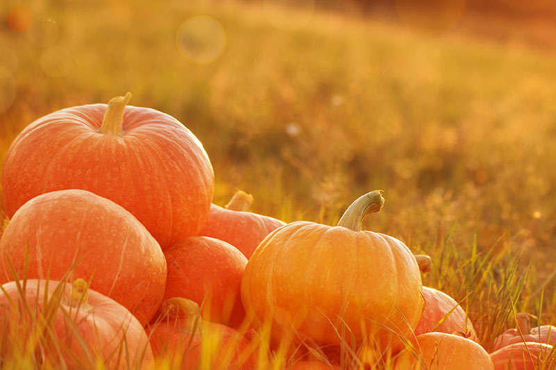 A close up of a pile of freshly harvested orange pumpkins set in the grass in gentle evening sunshine.