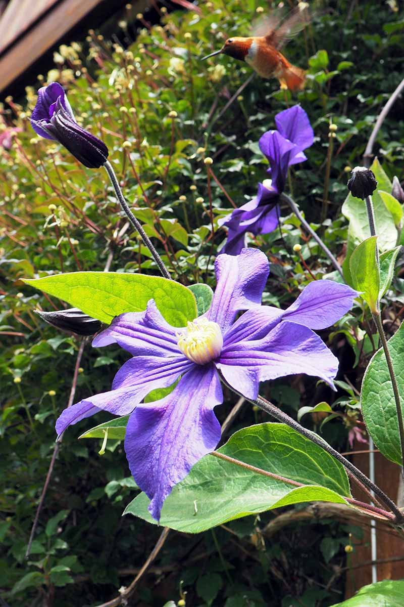A vertical close up picture of a bright purple clematis flower, growing in the garden in the sunshine, with a hummingbird hovering above. In the background is foliage in soft focus.