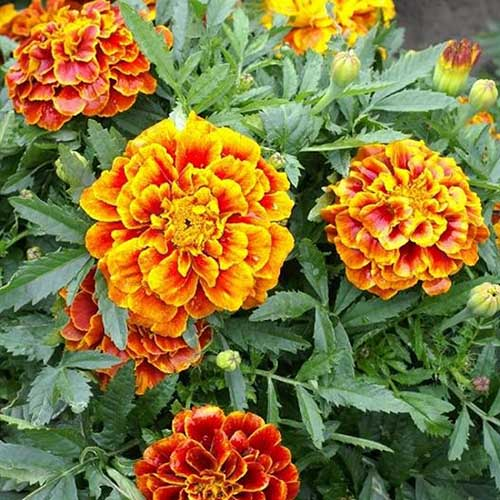 A close up of the 'Queen Sophia' marigold cultivar. Bright yellow, red, and orange blooms with foliage in the background, growing in the summer garden.