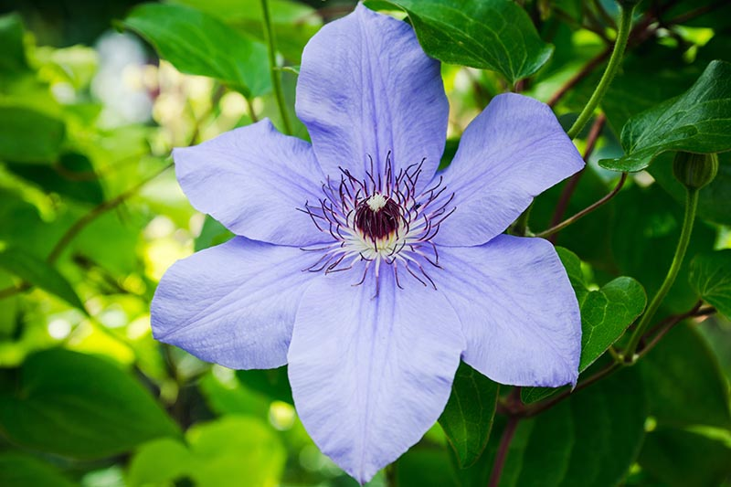 A close up of a light blue flower with white and dark purple stamen, pictured in light sunshine with foliage in soft focus in the background.