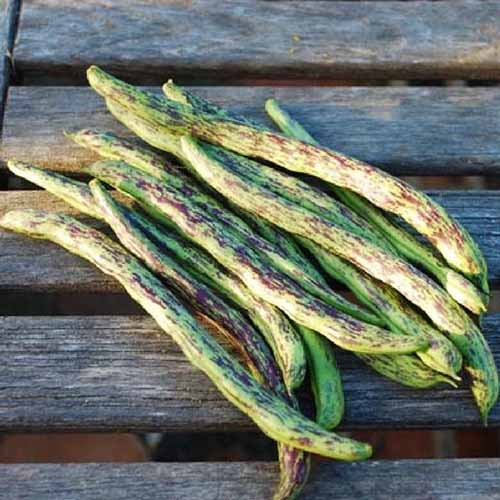 A close up of freshly harvested 'Rattlesnake' pole beans, set on a wooden surface in light sunshine.