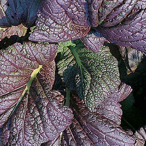 A close up of the large purple leaves of 'Red Giant' growing in the garden in bright sunshine.