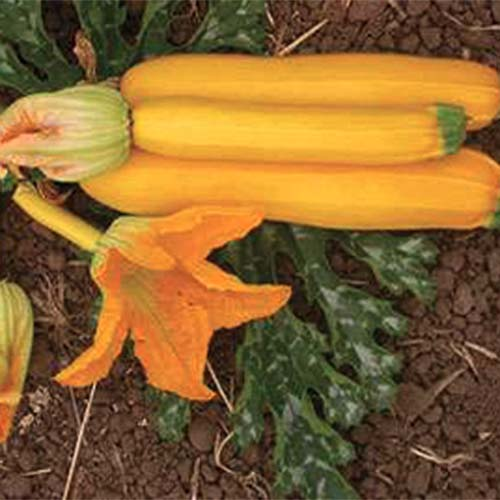 A close up of Cucurbita pepo 'Rheinau Gold' with three yellow fruits set on the surface of the soil.