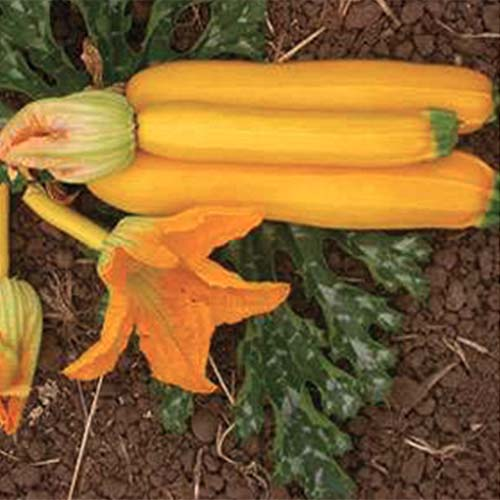 A close up of three bright yellow 'Rheinau Gold' zucchini fruits set on the ground with foliage and a flower in the background.