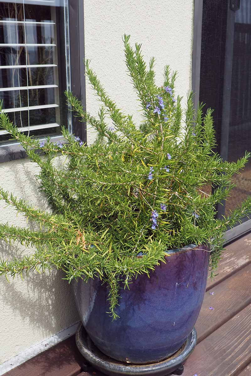 A vertical picture of a large blue ceramic pot with rosemary, set on a wooden surface outside a window.