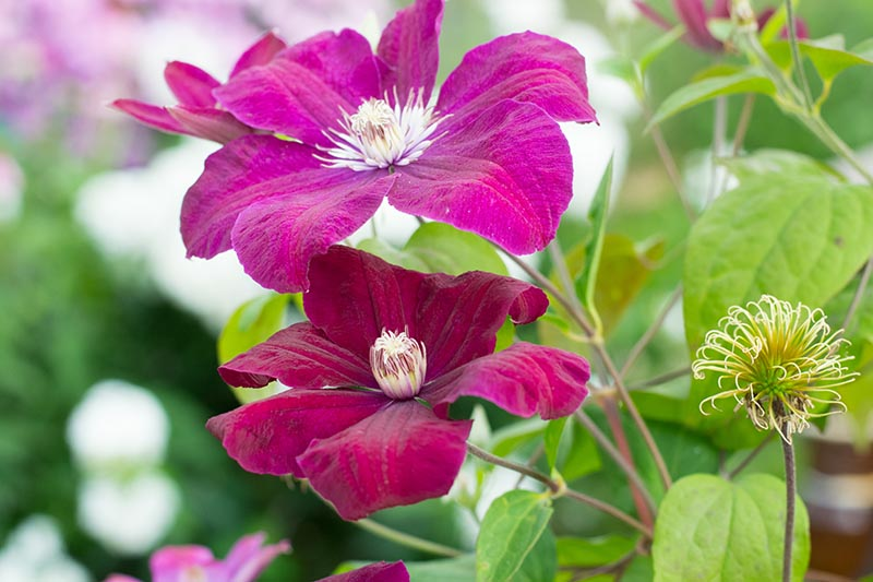 A close up of the delicate pink flowers with white stamen of 'Rouge Cardinal,' a summer-flowering clematis variety, with foliage in soft focus in the background.
